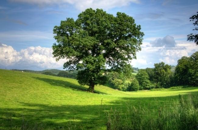 Kakvo je stablo hrast?